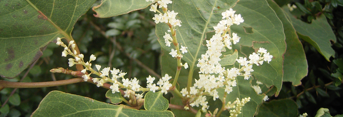 Japanese Knotweed Companies
