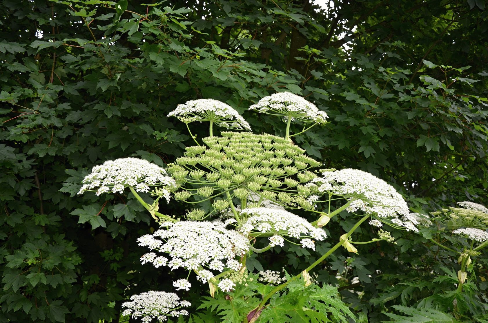 giant hogweed removal yorkshire