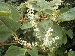 What is Japanese Knotweed and how do you identify this rapidly spreading, destructive plant in your garden this summer?